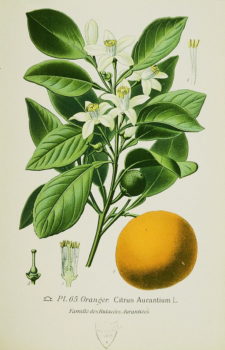orange botanical illustration